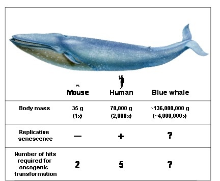 Blue Whale — Information is Beautiful Awards  |Blue Whales Compared To Humans